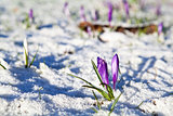 crocus flowers  in snow
