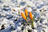yellow crocus flower in snow
