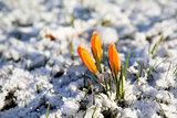 yellow crocus flower in snow