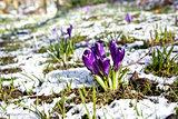 beautiful violet crocus flowers on snow