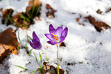 purple crocus flowering in snow