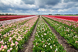 rows of colorful tulips in Holland