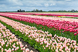 field with colorful tulips in spring