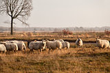 sheep herd on meadows in Dwingelderveld