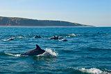 Bottlenose Dolphin Dive