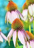 Pink Echinacea flowers