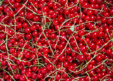 Many bunches of red currants as a texture