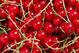 Many banches of red currant