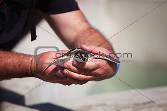 Handling young Carribean sea turtle for conservation