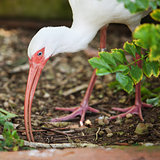 White Ibis Eating