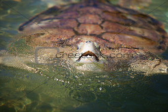 Carribean Sea Turtle