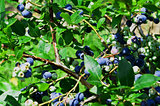 High Bush Blueberries