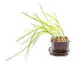 Green onions in a ceramic pot on a white background