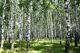 Sunny birch grove in summer July