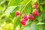 Raspberry on a branch