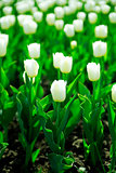 gentle white tulips on summer flower bed