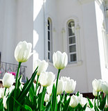 cream tulips on a background white building