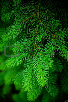 green needles as natural and holidays background