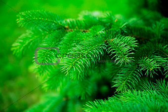 green sharp needles as natural and background