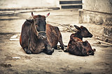 Cow and calf on the street. India, Udaipur