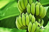 Unripe bananas in the jungle