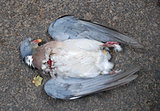 Wood pigeon killed by a car