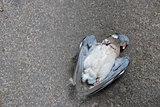 Dead pigeon lying on the road