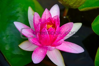 Close-up image of Pink Water Lily