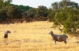 Sheep grazing in a paddock