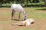 horse sleeping