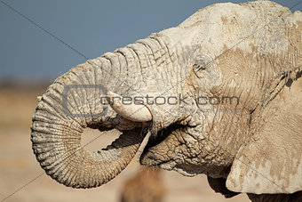 African elephant covered in mud