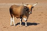 Sanga bull