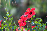 Red hibiscus flower over natural green bokeh background