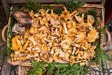 Golden Chanterelles mushroom basket
