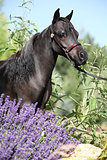 Black miniature horse behind purple flowers