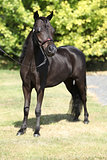 Black miniature horse in the garden