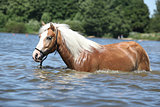 Young haflinger in the water