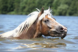 Blond haflinger swimming and looking at you