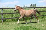 Young welsh pony mare running