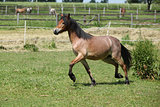 Young welsh mountain pony mare running
