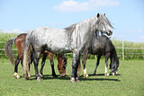 Grey welsh pony standing on pasturage