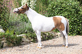 Mottle miniature horse in the garden