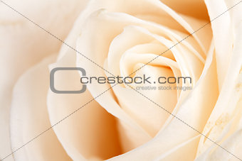 background of white roses