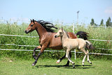 Welsh mountain pony mare with foal running