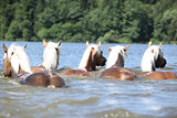 Batch of chestnut horses swimming