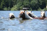 Batch of chestnut horses swimming