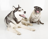 pug and siberian husky