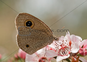 Dingy Ring butterfly on Australian leptospernum pink flower