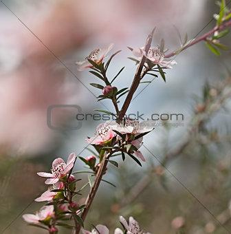 Australian wildflower Leptospernum Pink Cascade flower