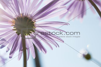 Aster Alpinus flowers under a bright blue sky